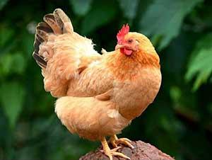 土鸡养殖走出致富路