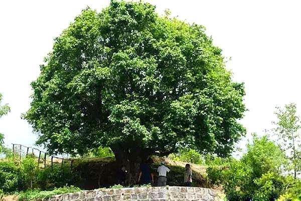 这棵古茶树已成国宝!临沧市政府提升安保级别 13个部门围着它转