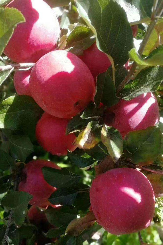 小涼山糖心蘋果種植基地