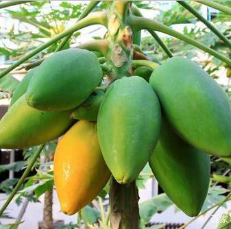秋季种植木瓜幼苗,这4点要学习,来年成活率大增