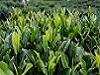 茶叶起源于中国,为何现在中国还要大规模进口茶叶?