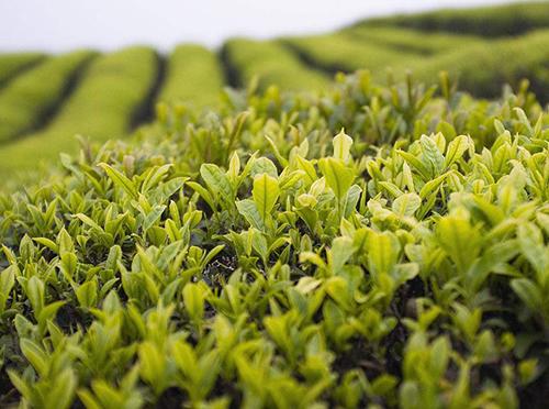 2020年湖南省将实现 茶叶产值1000亿