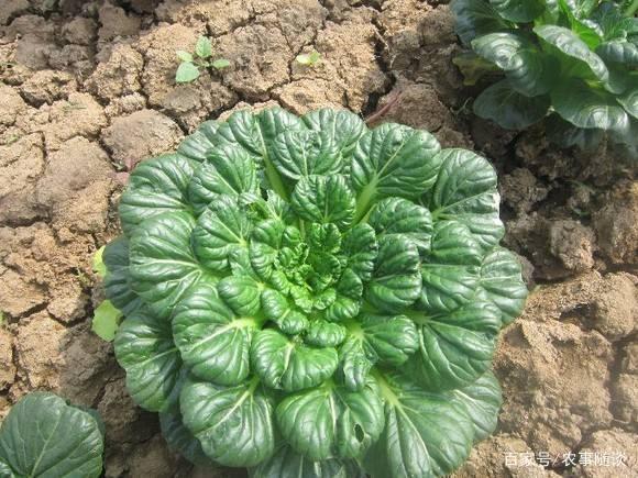 冬至来临,种上这种蔬菜,下雪也冻不死,到过年都有新鲜蔬菜