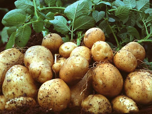 马铃薯�I卫农作物地位,在农村种植盛行,这些技巧大家要熟知