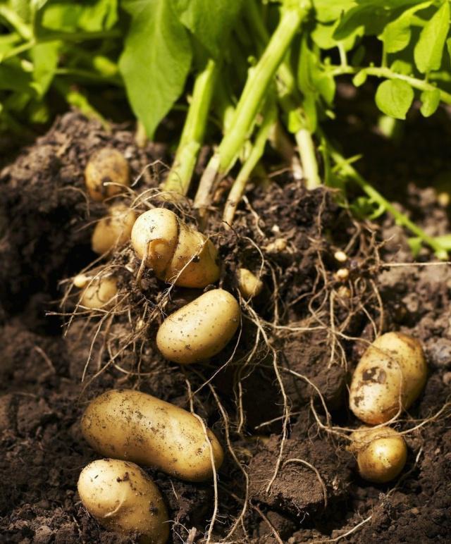 马铃薯播种及播后田间管理技术要点