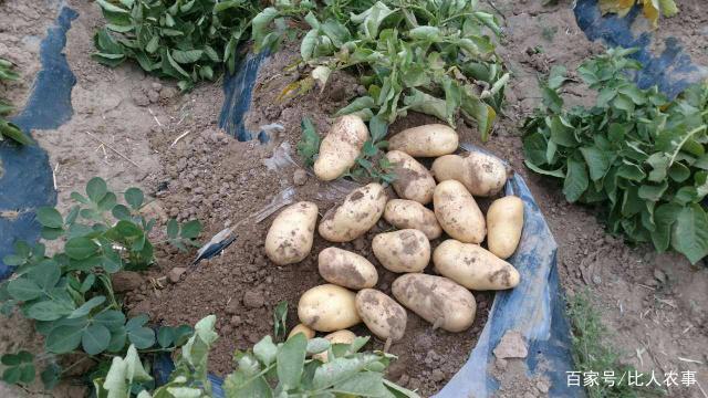 有地下苹果美称,在全世界范围栽培,马铃薯的种植你知道吗?