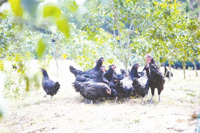 七星关区橙满园社区:林下养殖促增收 生态经济创双赢